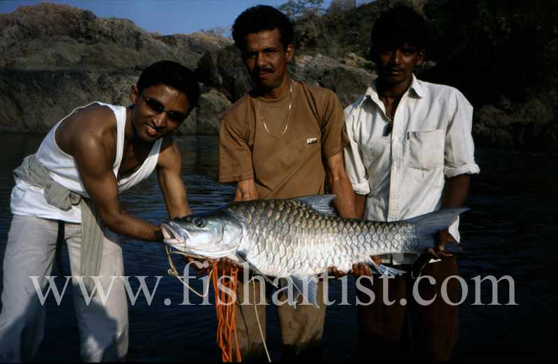 Evening Caught Silver Mahseer. - Mahseer Fishing India.