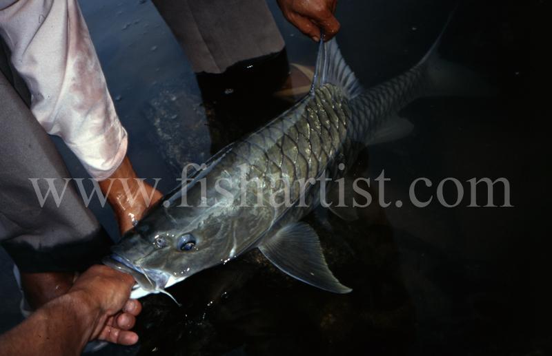 Mahseer Capture. - Mahseer Fishing India.