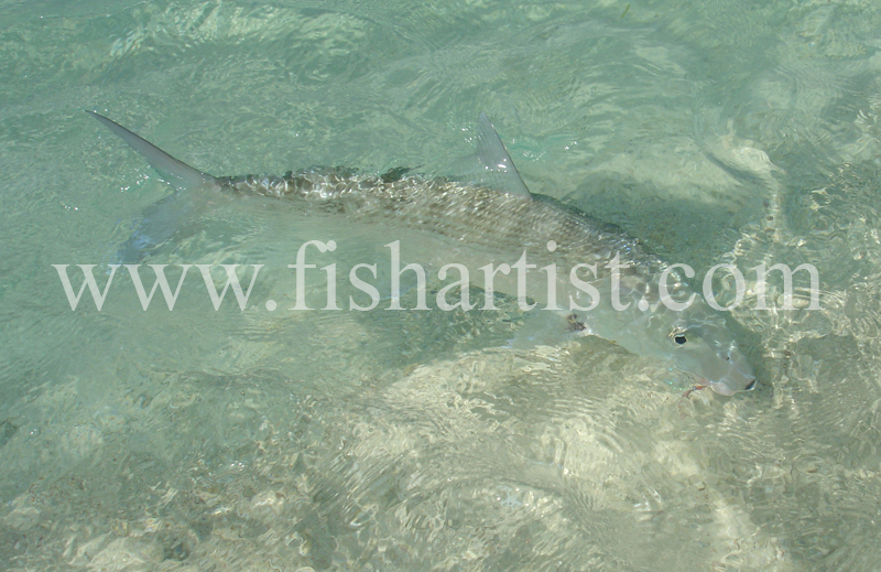 Bonefish Photo - Shore Release. - Bonefish & Tarpon.