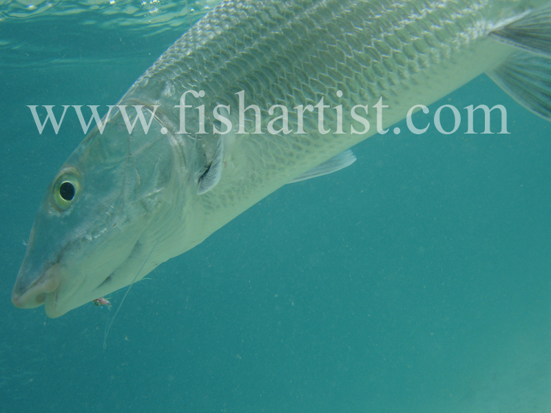 Bonefish Photo - Silver and Blue. - Bonefish & Tarpon.