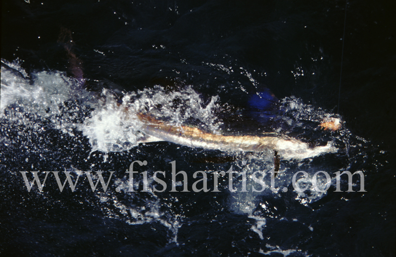 Free Swimming Sailfish. - Marlin Fishing.