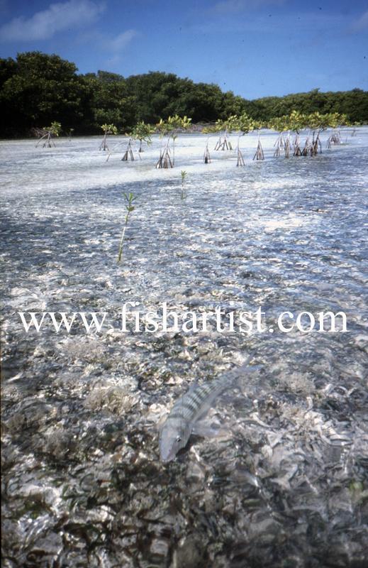 Lagoon Bonefish. - Bonefish & Tarpon.
