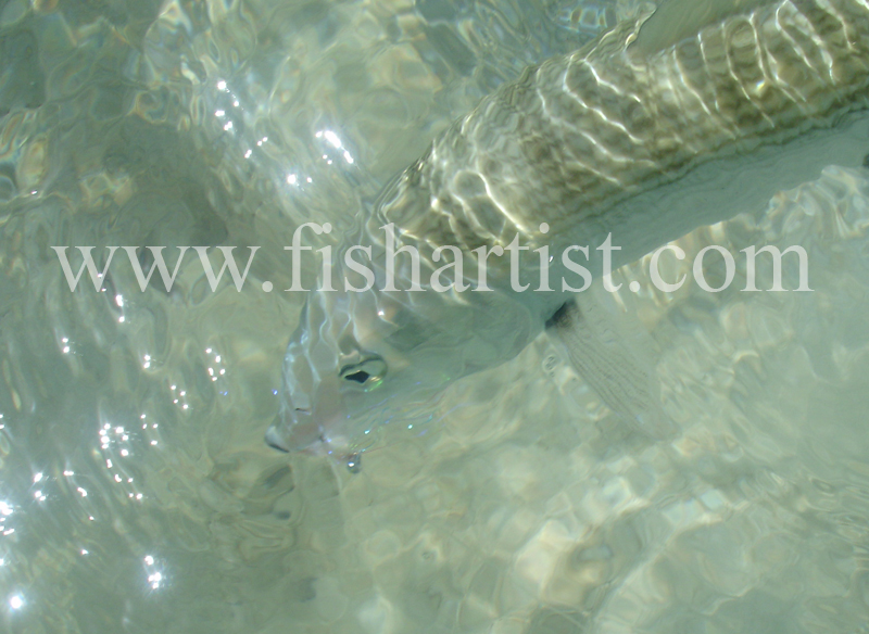 Bonefish Photo - Sparkling Bonefish. - Bonefish & Tarpon.