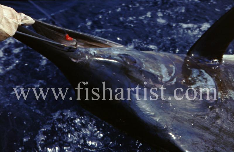 Marlin Head. - Marlin Fishing.