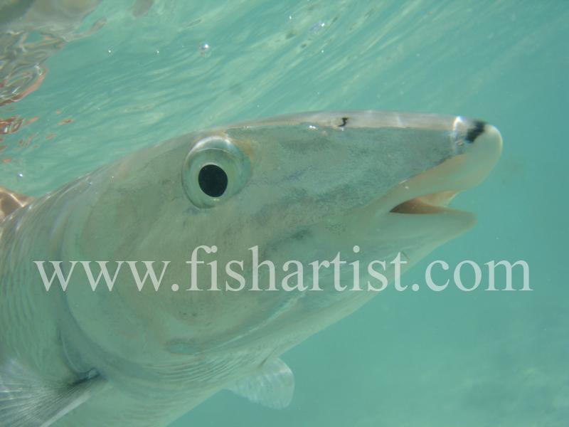 Bonefish Photo - Frightened Eye. - Bonefish & Tarpon.