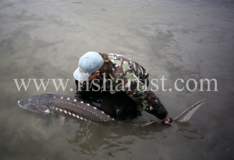 Sturgeon - Release. - Sturgeon of the Fraser River.