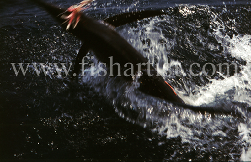 Leaping Stripped Marlin. - Marlin Fishing.