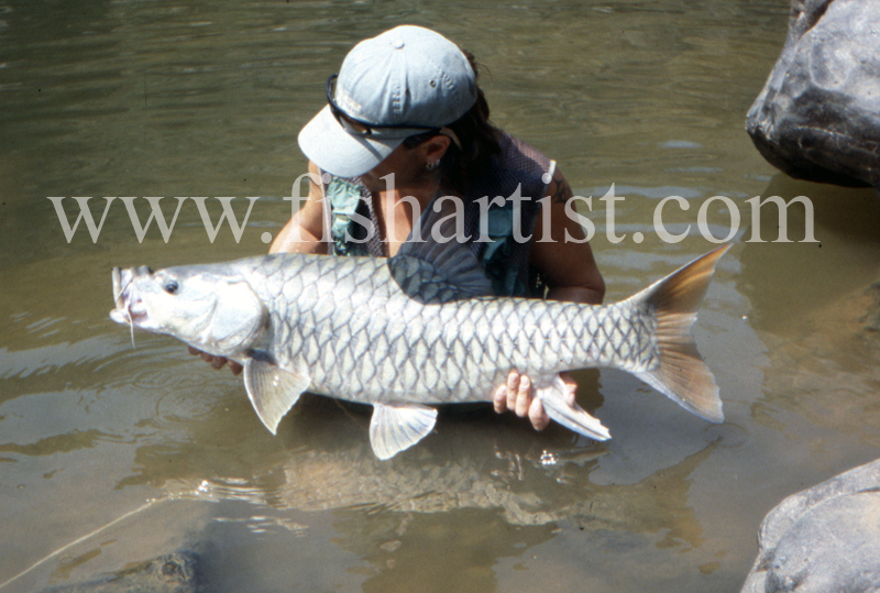 40lb Golden Mahseer. - Mahseer Fishing India.