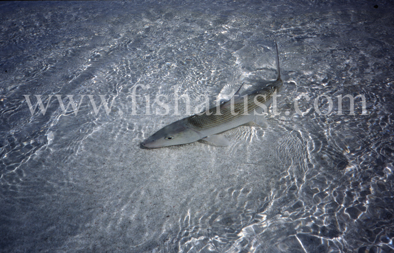 Shallow Water Bonefish. - Bonefish & Tarpon.