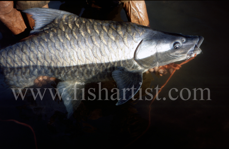 Mahseer Closeup. - Mahseer Fishing India.