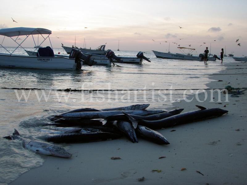 Barracuda and Wahoo Catch 2010. - Bonefishing 2010.