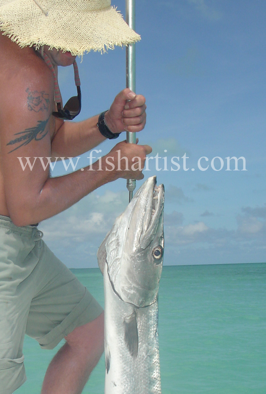 Barracuda caught on the Flats. - Bonefish & Tarpon.