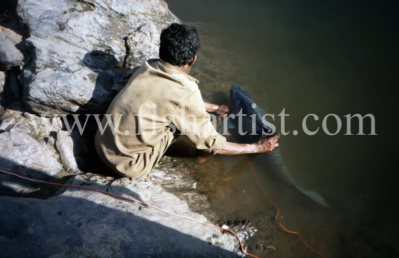 Recovering Mahseer. - Mahseer Fishing India.