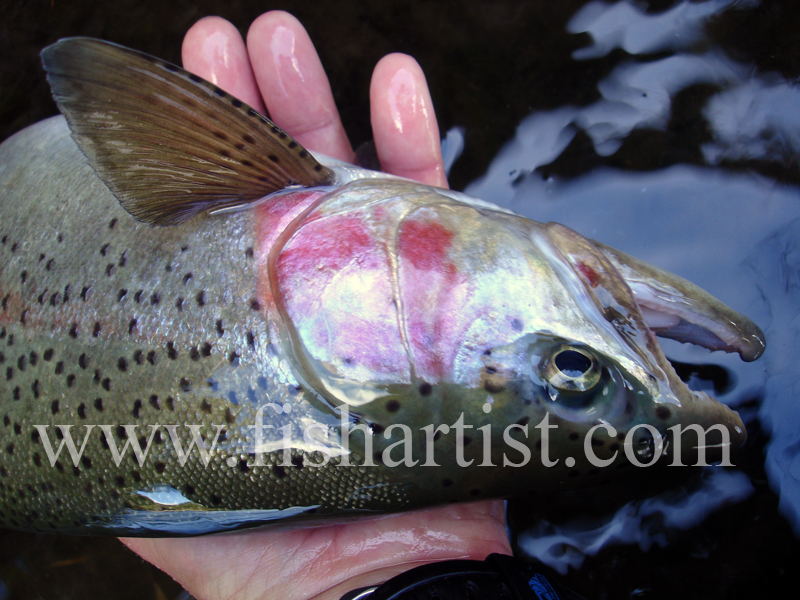 Pretty Jack. - Trout of the Tongariro River.