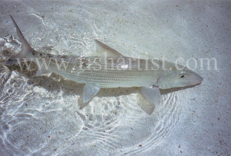 Wild Bonefish. - Bonefish & Tarpon.