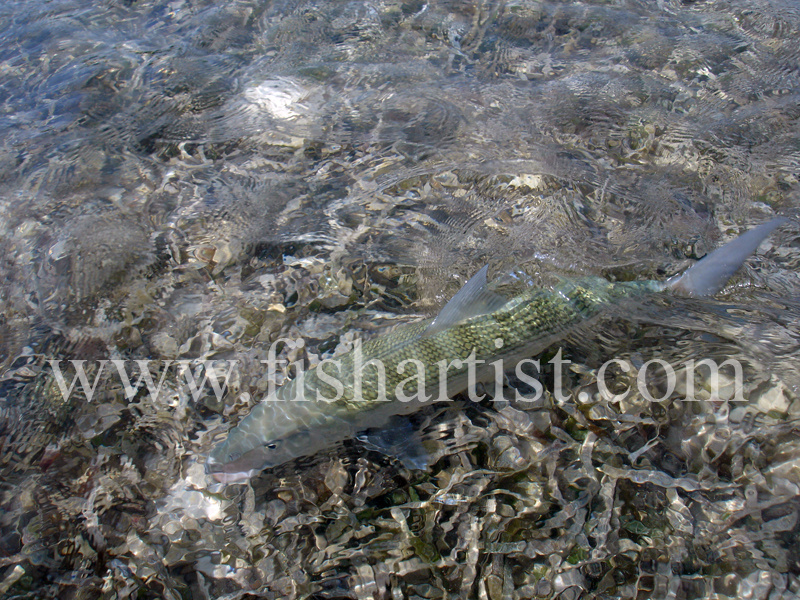 Bonefish Photo - Blending In. - Bonefish & Tarpon.