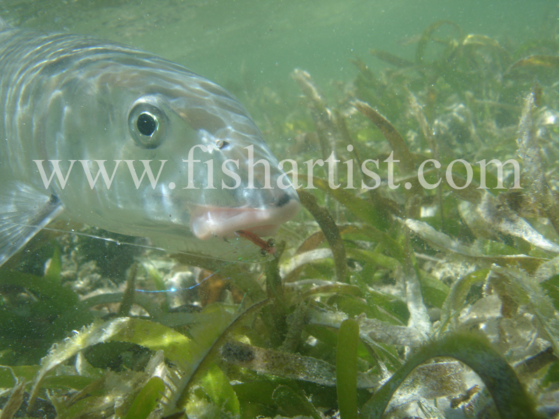 Bonefish Photo - Relections on Seagrass. - Bonefish & Tarpon.
