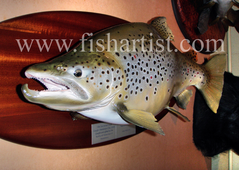 13lb 2oz Waitahanui Jack Brown Trout. - Trout Fishing - Taupo New Zealand.