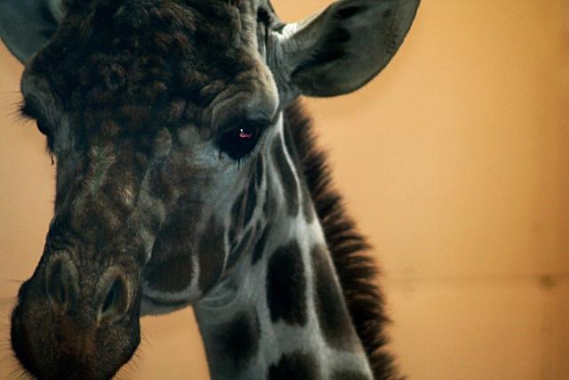 I DO Believe in Giraffes - Fauna and Flora