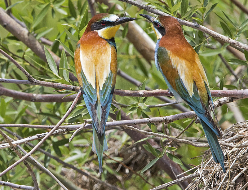 Bee Eaters. - Lesvos, Spring 2017