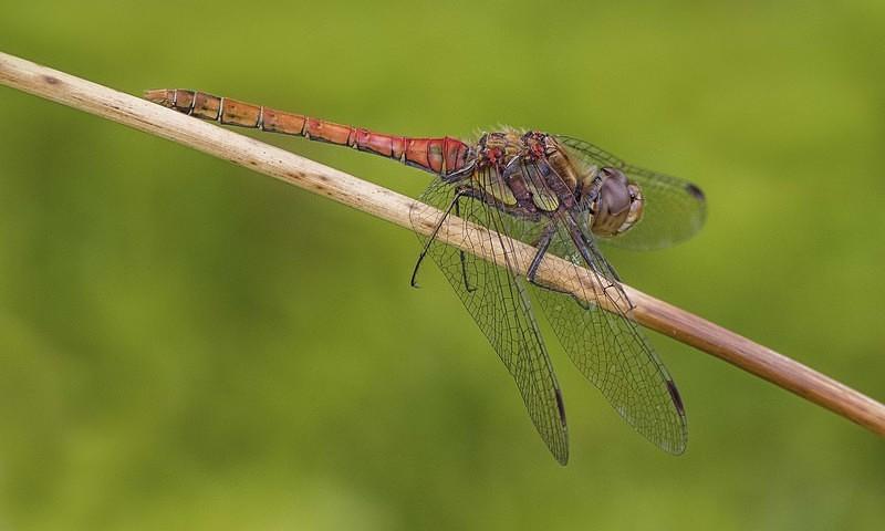 Common Darter - Dragonflies and Damselflies
