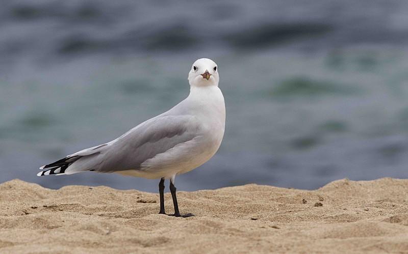 Audouins Gull - Mallorca