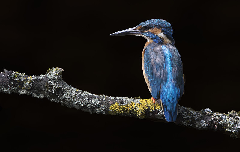 Male Kinghfisher - Kingfishers