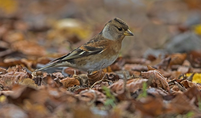 Female Brambling. - Bramblings