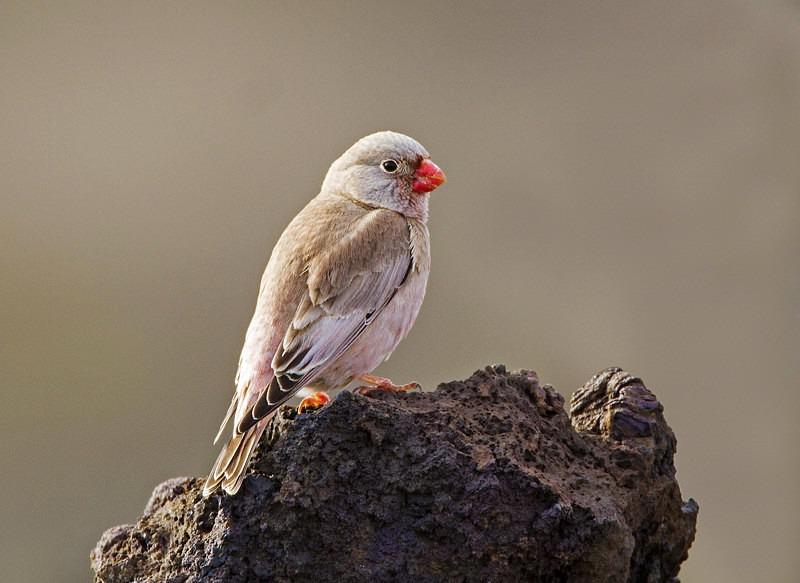 Trumpeter Finch. - Lanzarote