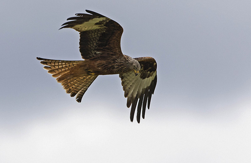 Red Kite - Red Kites