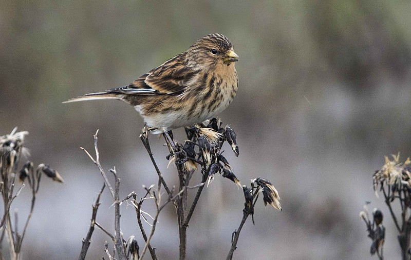 Twite - Norfolk Winter 2016