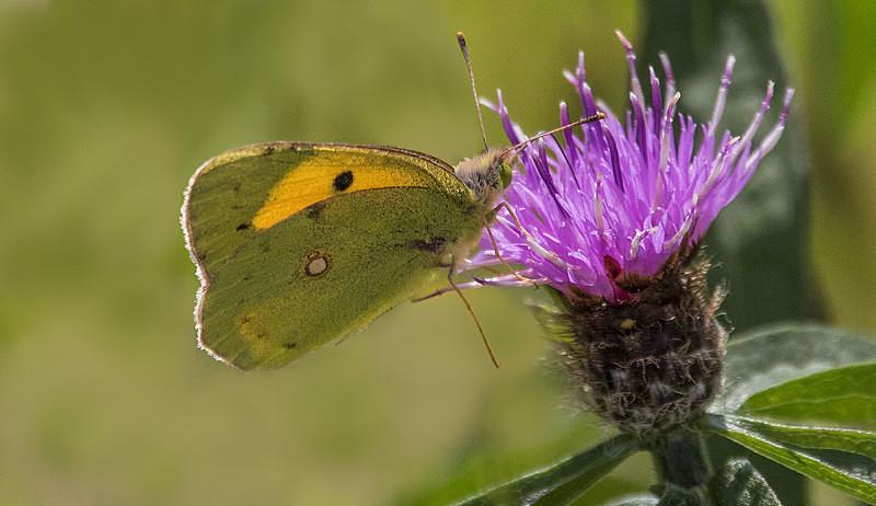 Clouded Yellow - Butterflies