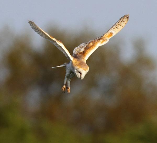 Barn Owl - Norfolk, Spring 2012