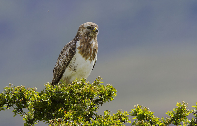 Common Buzzard - Spring birds around the Brecon Beacons