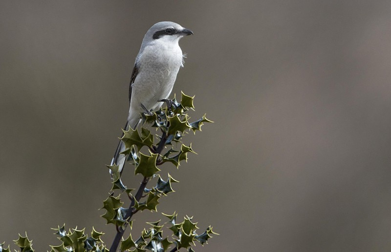 Female Northern Grey Shrike. - Northern Grey Shrike