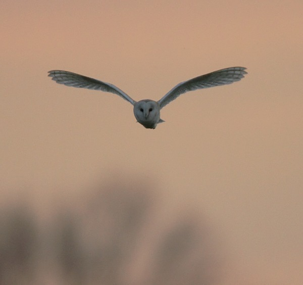Barn Owl - Norfolk, Spring 2012
