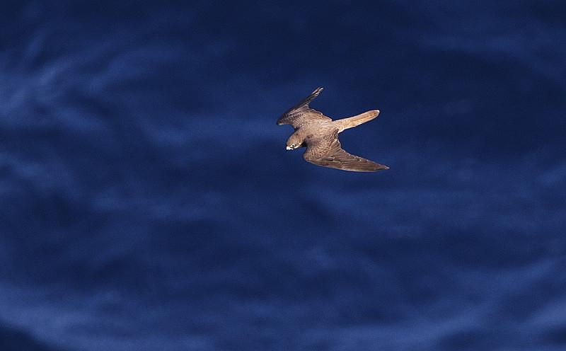 Eleonoras Falcon - Mallorca