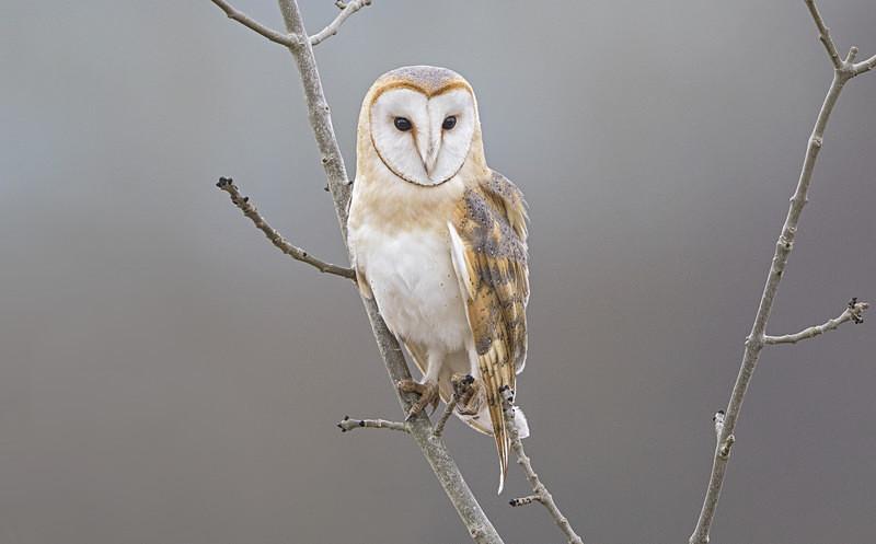 Barn Owl - Barn Owl