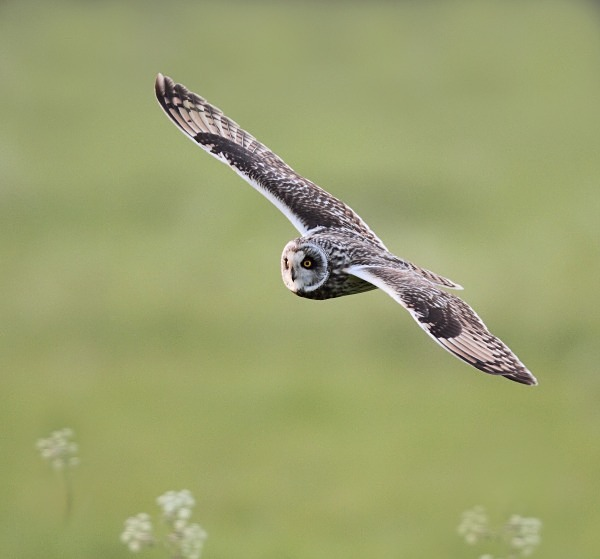 Short Eared Owl - Norfolk, Spring 2012