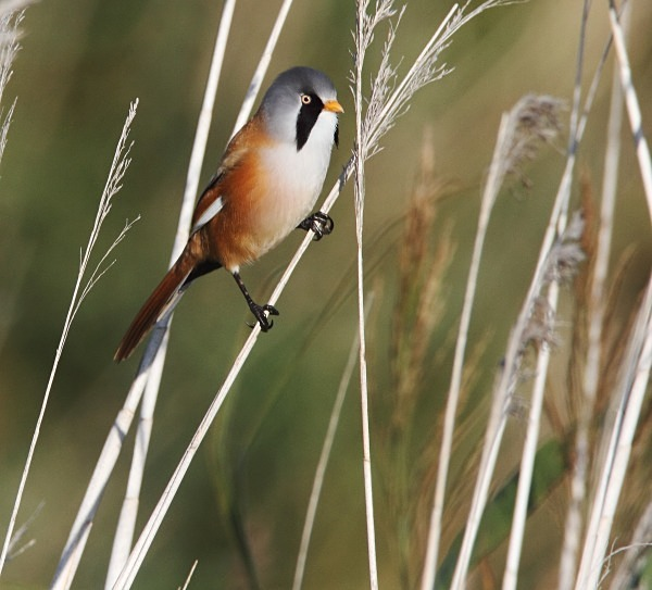 Male Bearded Tit - Norfolk, Autumn 2011