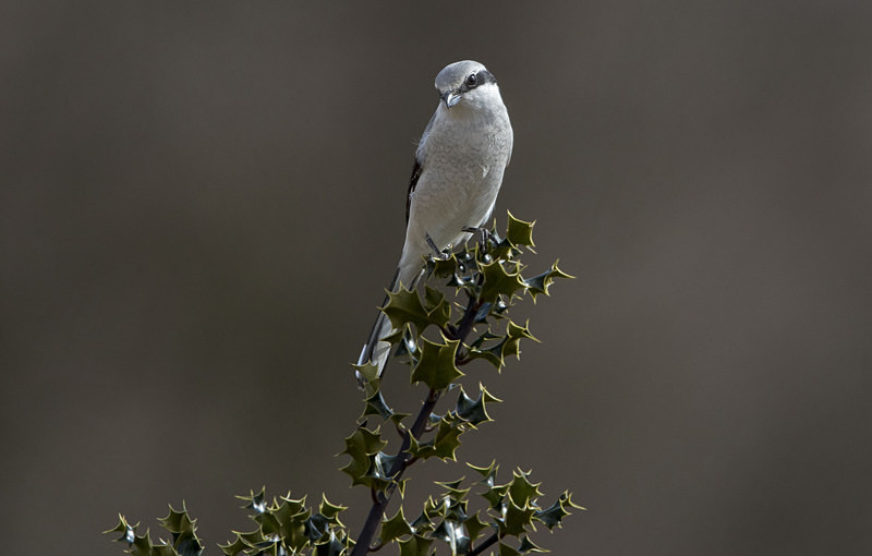 Female Northern Grey Shrike. - Northern Grey Shrike