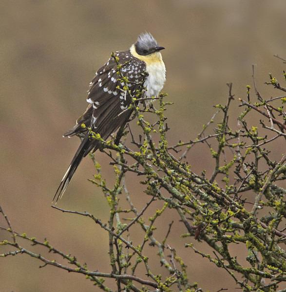 Great Spotted Cuckoo - Great Spotted Cuckoo