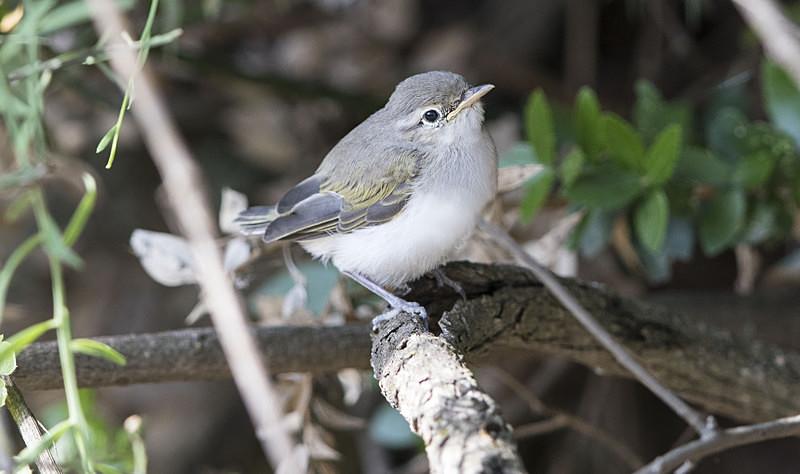 Eastern Bonellis Warbler Chick. - Lesvos, Spring 2017