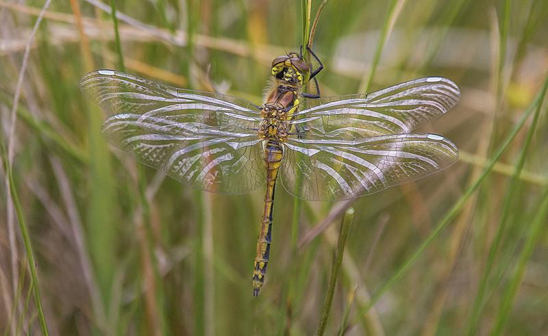Black Darter - Dragonflies and Damselflies