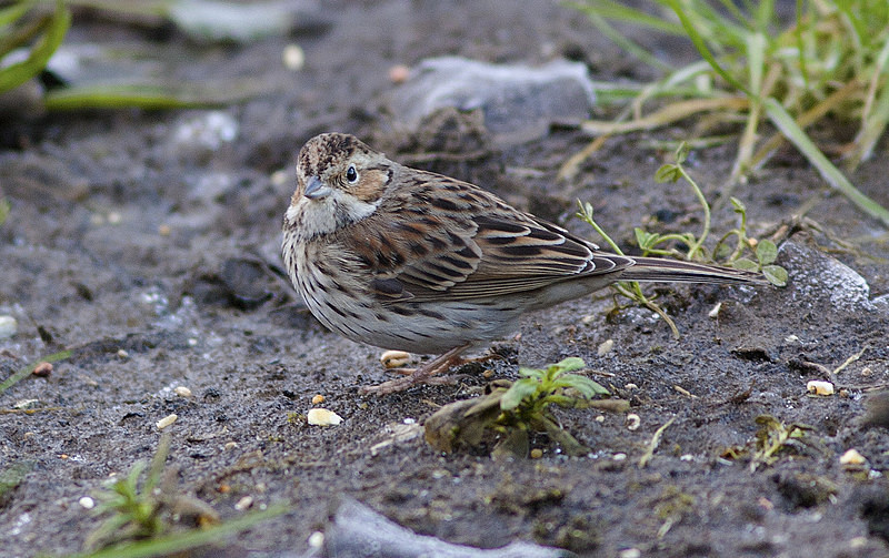 Little Bunting - Little Bunting