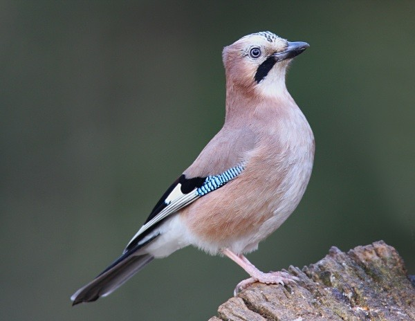 Jay - Middlewood Nature Reserve