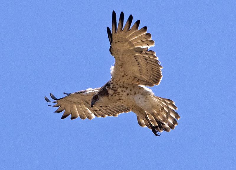 Short Toed Eagle. - Lesvos, Spring 2017