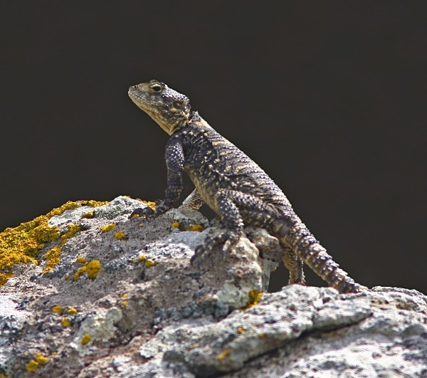Star Agama (Lesvos) - From around the world