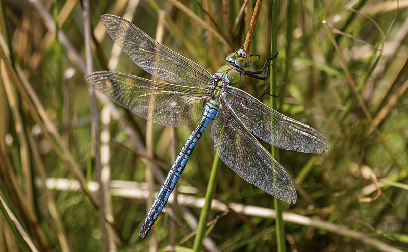 Emperor Dragonfly - Dragonflies