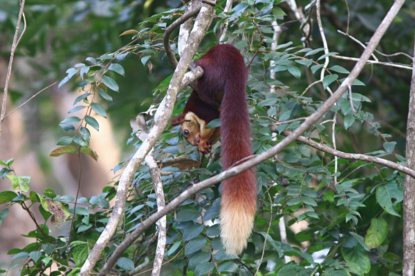 Giant Malabar Red Squirrel (India) - From around the world